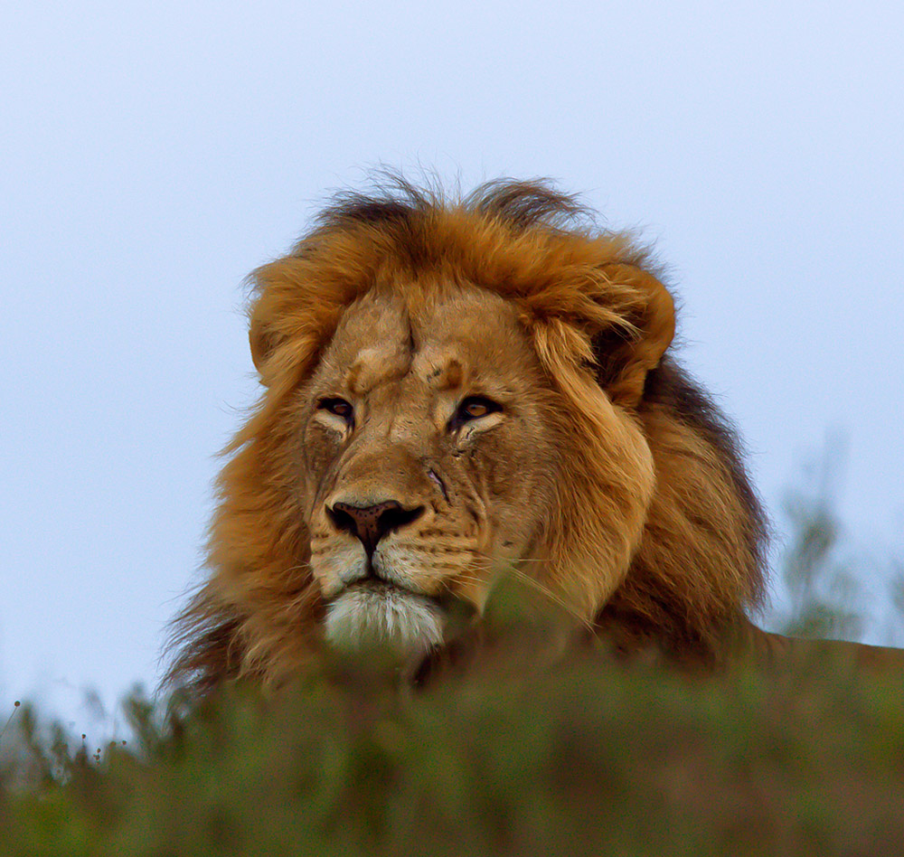 King of the hill. A male lion looks down on cars and ample prey in the Addo Elephant National Park, 20 July 2015.