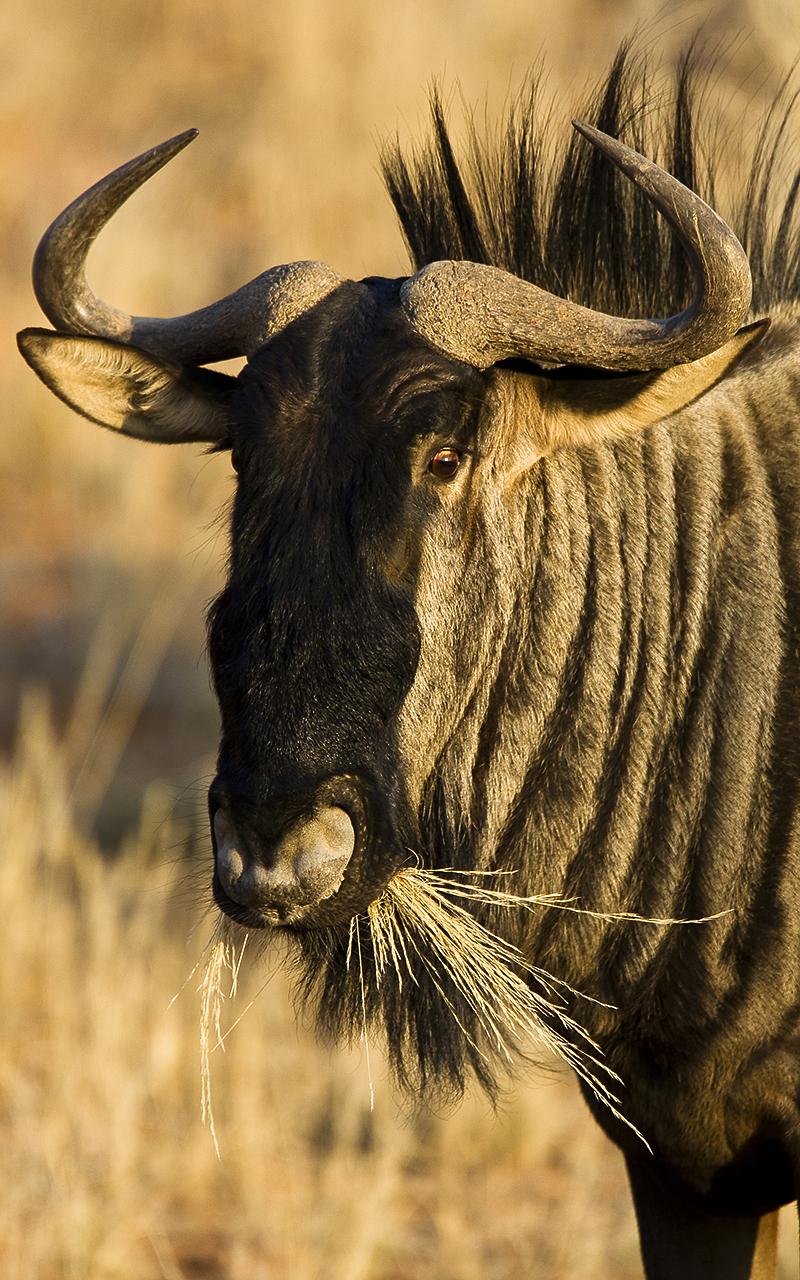 Kgalagadi Transfrontier Park. Blue Wildebeest.