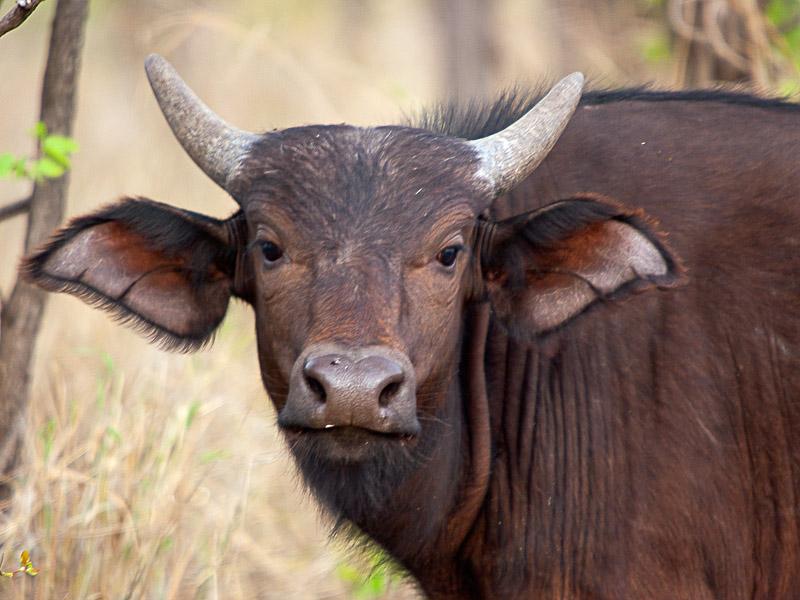Buffalo_Calf_Dopey