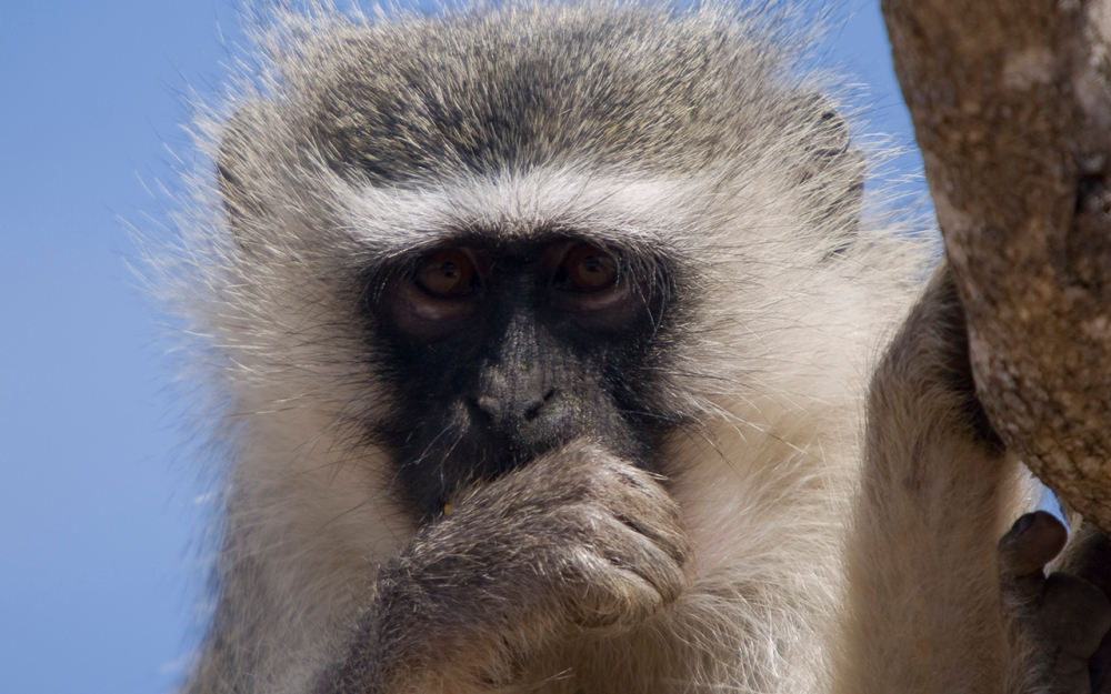 A Vervet Thinker. Kruger National Park.