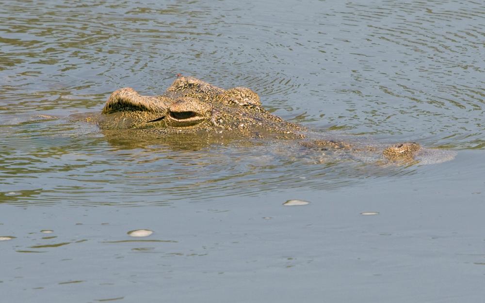 Crocodile_KrugerNP