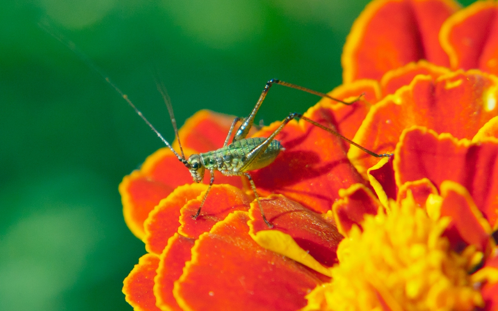 an insect (in the early stages of being a cricket) on a marigold flower