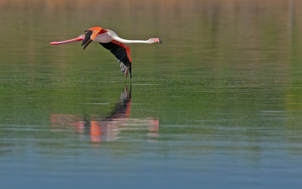 Flamingo_wingtip
