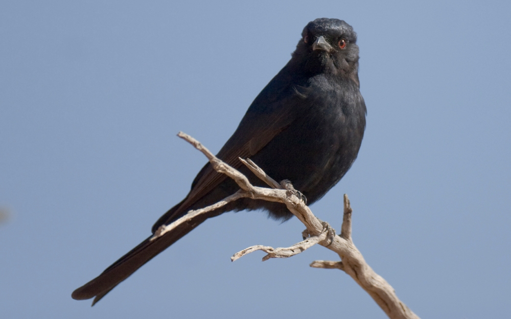 Forktailed Drongo in the Kgalagadi Transfrontier Park
