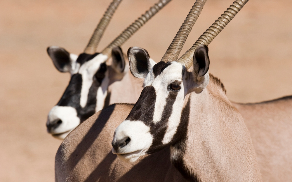 gemsbok in the Kgalagadi Transfrontier Park