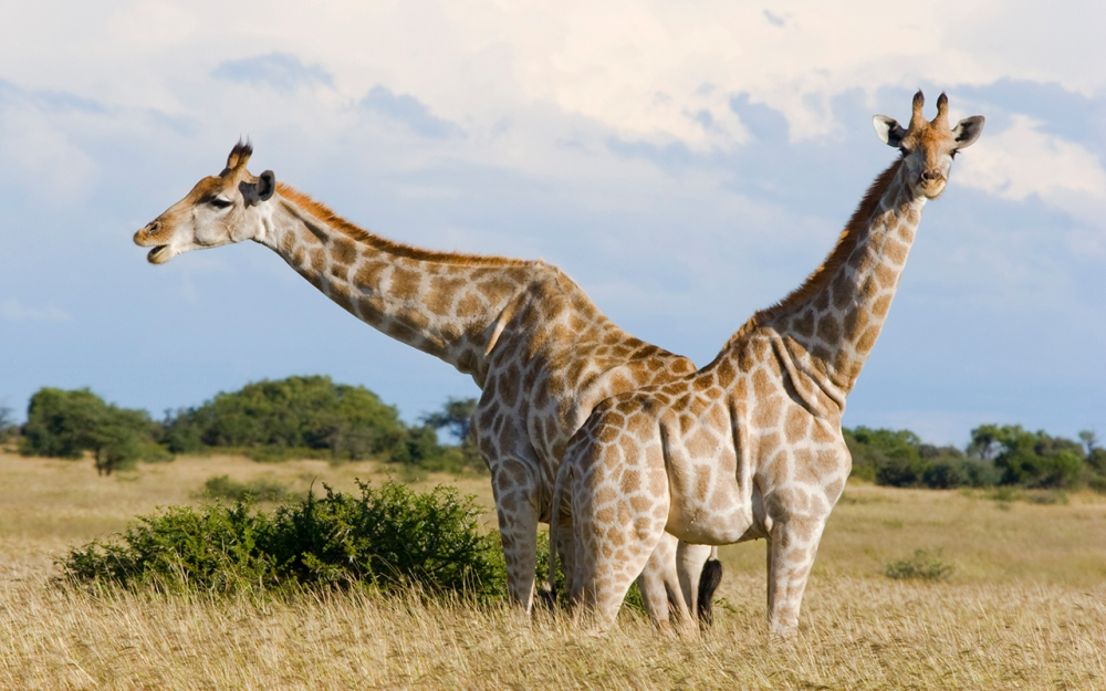 A pair of Giraffe huddle together in the Mafikeng Game reserve