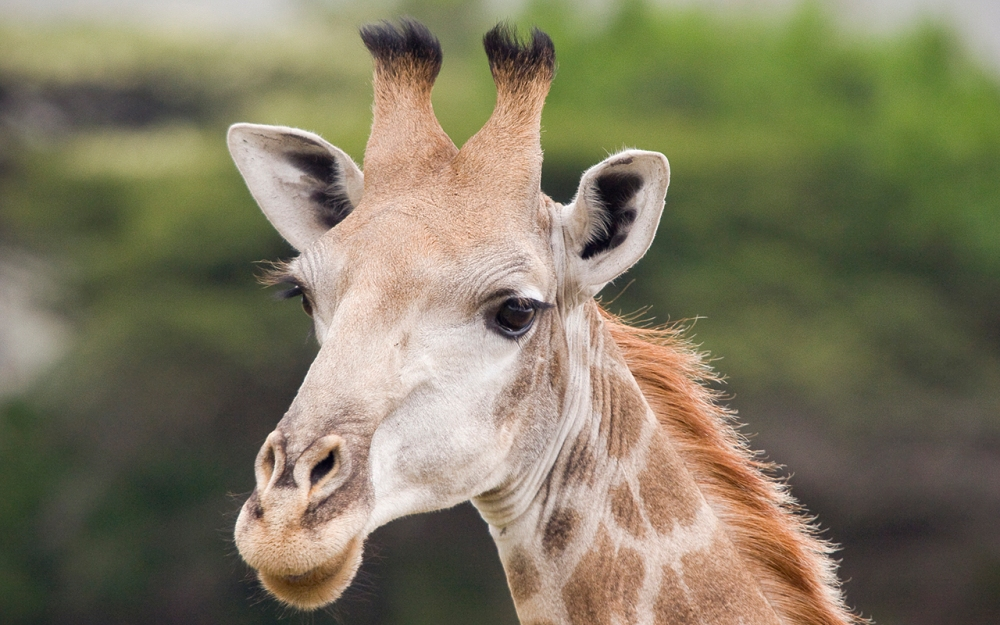 Giraffe_Portrait_Ithala