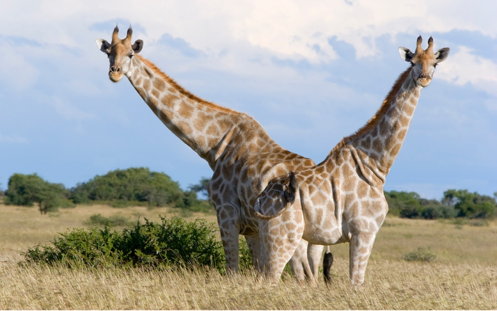 A pair of giraffes carefully scan for potential danger