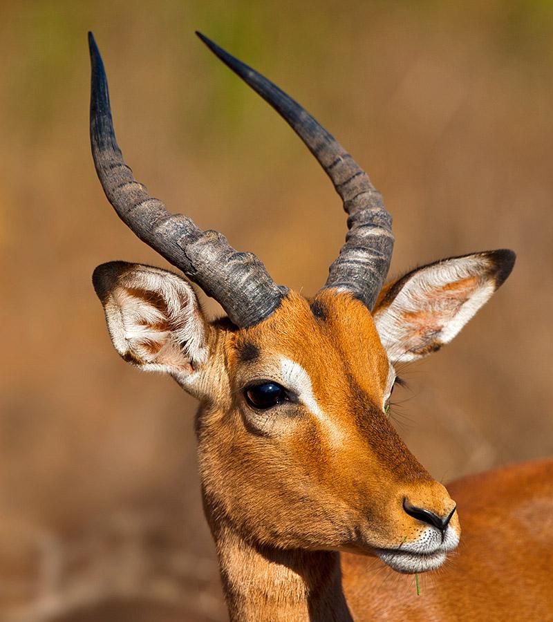 Impala_DEK2596_Mkuzi