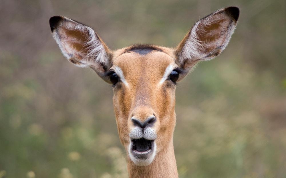 impala_female