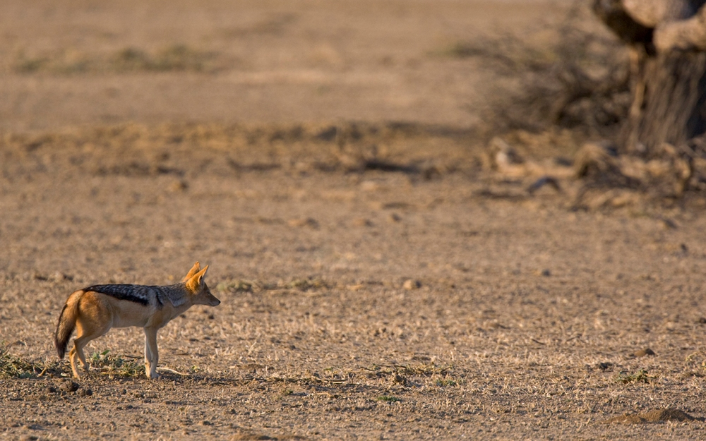 Kgalagadi Transfrontier Park. Blackbacked Jackal heading for shelter.