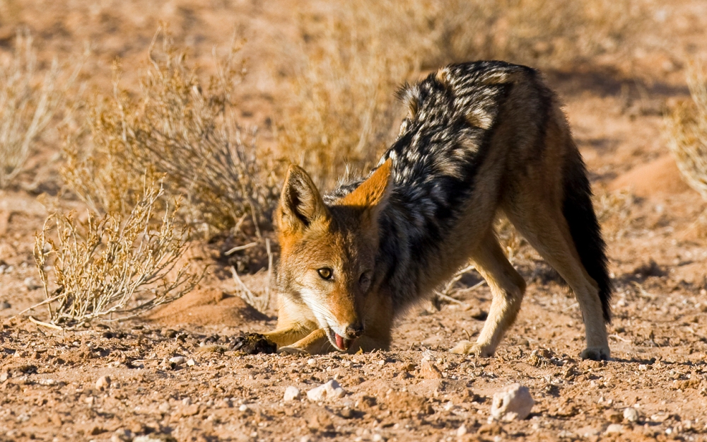a playful Blackbacked jackal in the Kgalagadi Transfrontier Park