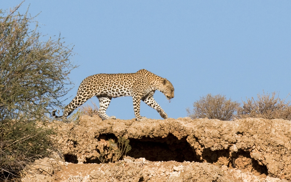 leopard in the Kgalagadi Transfrontier Park