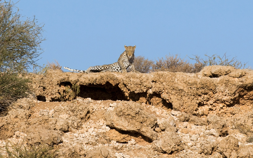 leopard surveying her range in the Kgalagadi Transfrontier Park