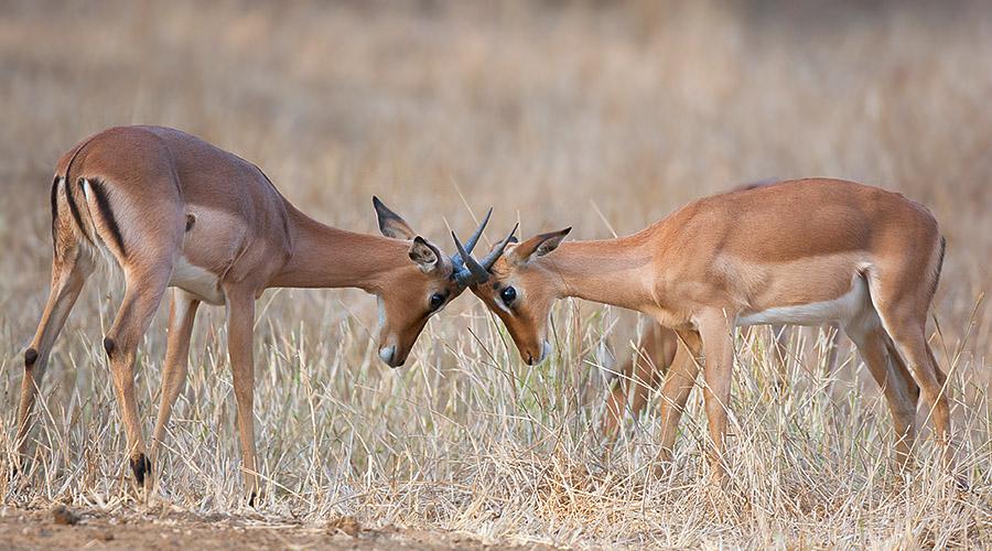 Mkuzi_Impala_DEK3505