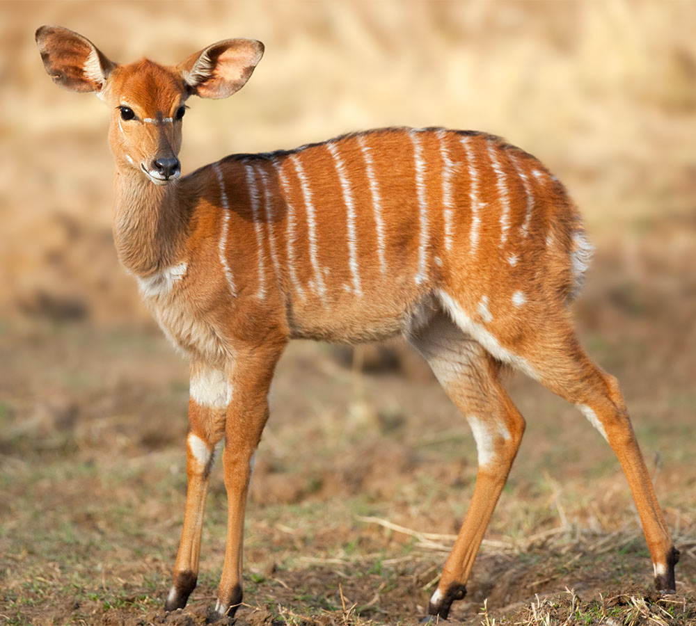 Young Nyala ewe. Mkuzi Nature Reserve, Kwazulu-Natal.