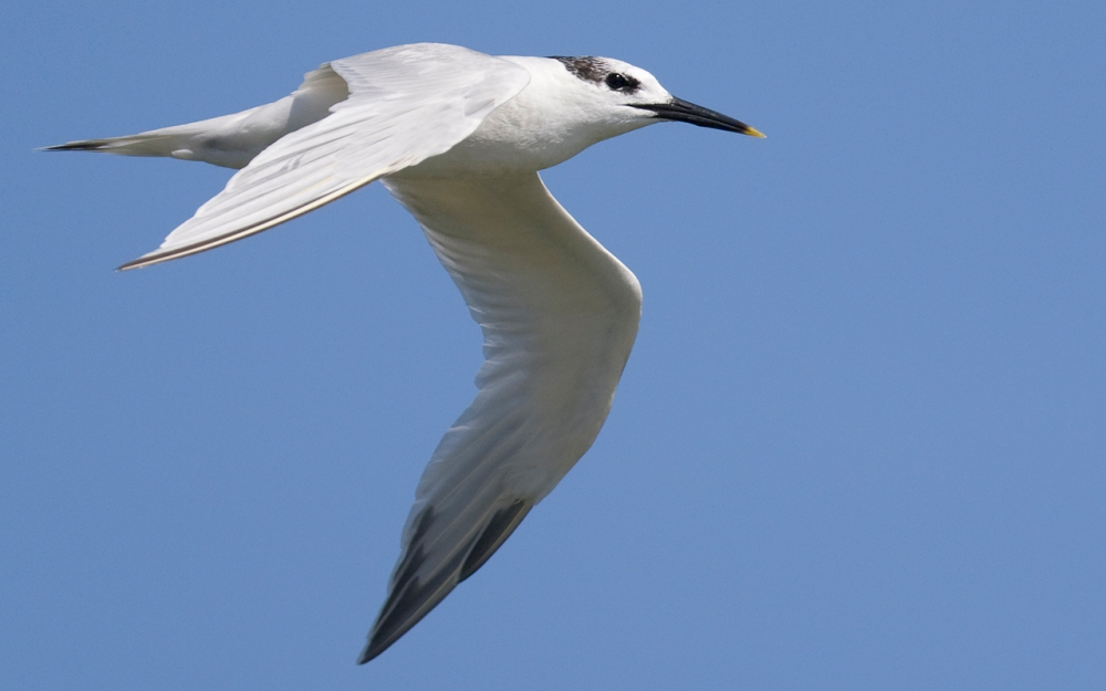 Sandwich Tern in flight, Velddrift, Western Cape