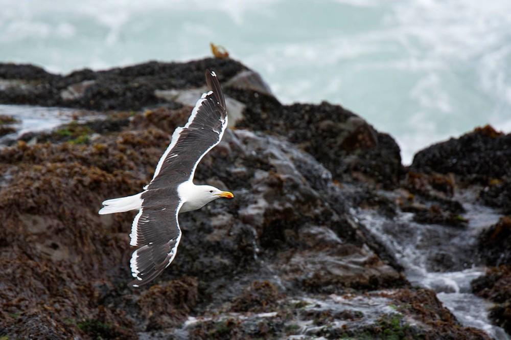 Cape_Gull