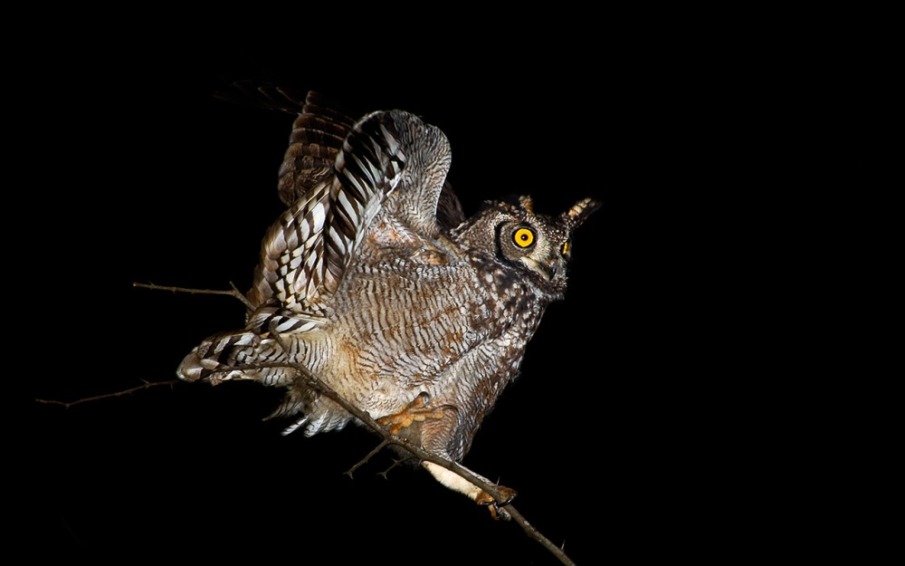 Spotted Eagle Owl landing on a branch at night