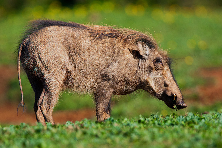 This tough Common Warthog appears to have a struggle with keeping warm at the Addo Elephant National Park. Photograph taken by Hannelie de Klerk at 10:40 AM on 19 July 2015.