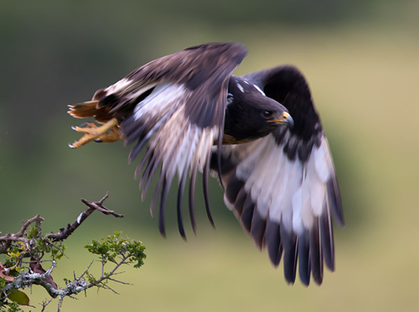 Jackal Buzzard taking off in a blur of speed. Addo Elephant National Park.