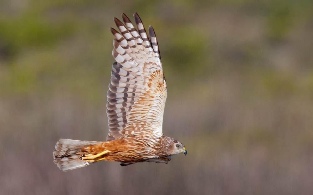 Marsh Harrier hunting at Abramskraal, West Coast National Park.
