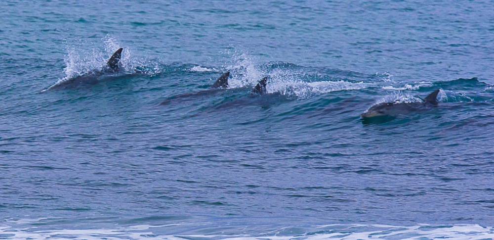 The dolphin surfing closest to me made my day by looking up for the camera a split second before committing to the wave on the downward dive. Trying to photograph dolphins in the wild is a thrilling game of point and anticipate, seldom rewarded with anything but fins breaking the surface of the water. This shot was taken at Jeffrey's Bay on 17 July 2015.