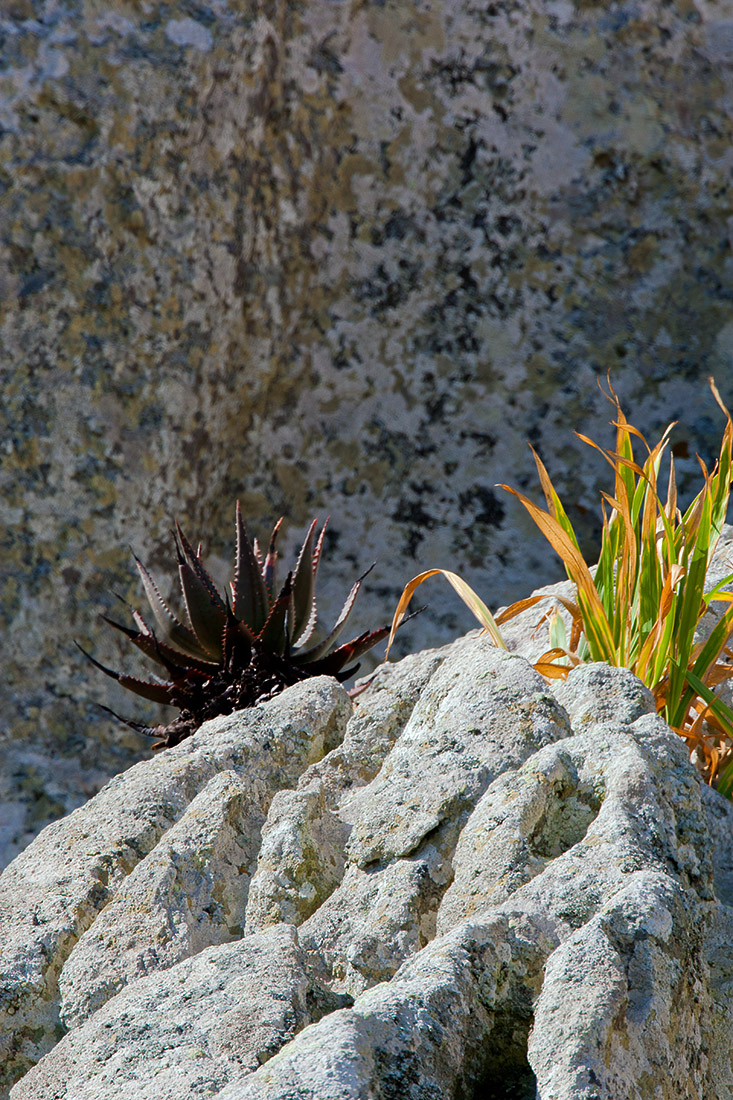 An aloe and some greenery seem to grow straight out of the sheer rockface. West Coast National Park. I like the balance of the dark thorny menace hanging back in the shade, and the light flighty number frolicking in the sun.