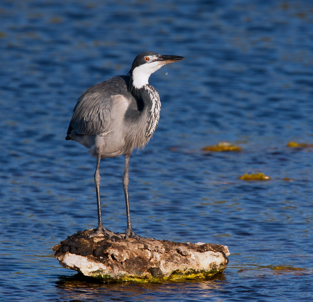 Blackheaded Heron drinking water from the dam at Abramskraal, West Coast National Park