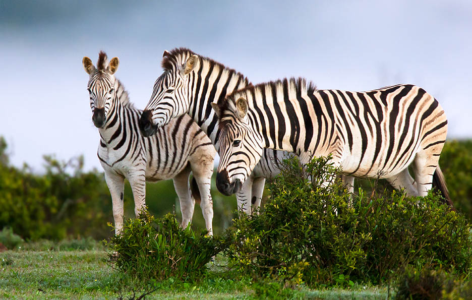 Family grouping: two adults and a young Plains Zebra, hanging together at Addo Elephant National Park.