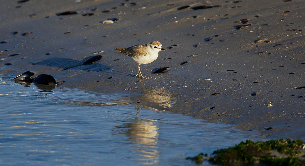 Whitefronted Plover on Yzerfontein Beach