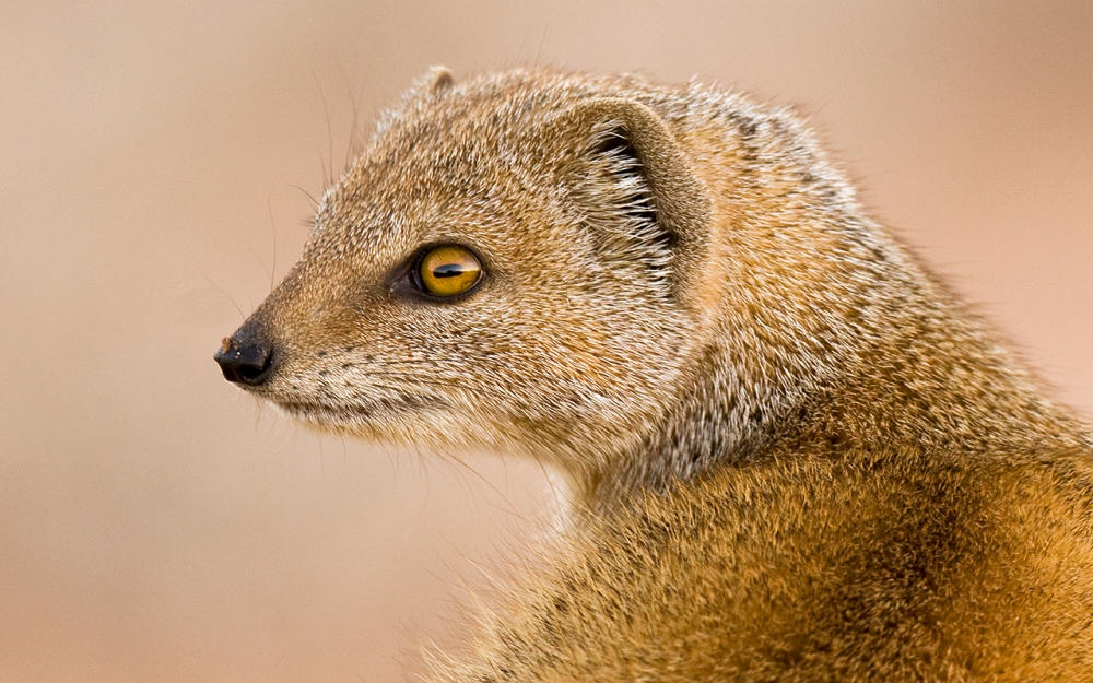 The Yellow mongoose blends perfectly with the red sand of the Kgalagadi desert.  This species is most frequently seen on its own, such as this individual that I photographed in 2007, but apparently they are happy to share burrows with ground squirrels and meerkat.  The mongoose warren mostly consists of between 5 and 10 members that each move off in its own direction above ground.