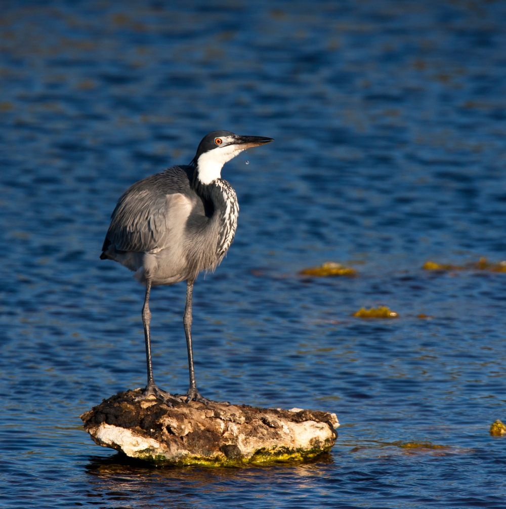 Blackheaded_Heron