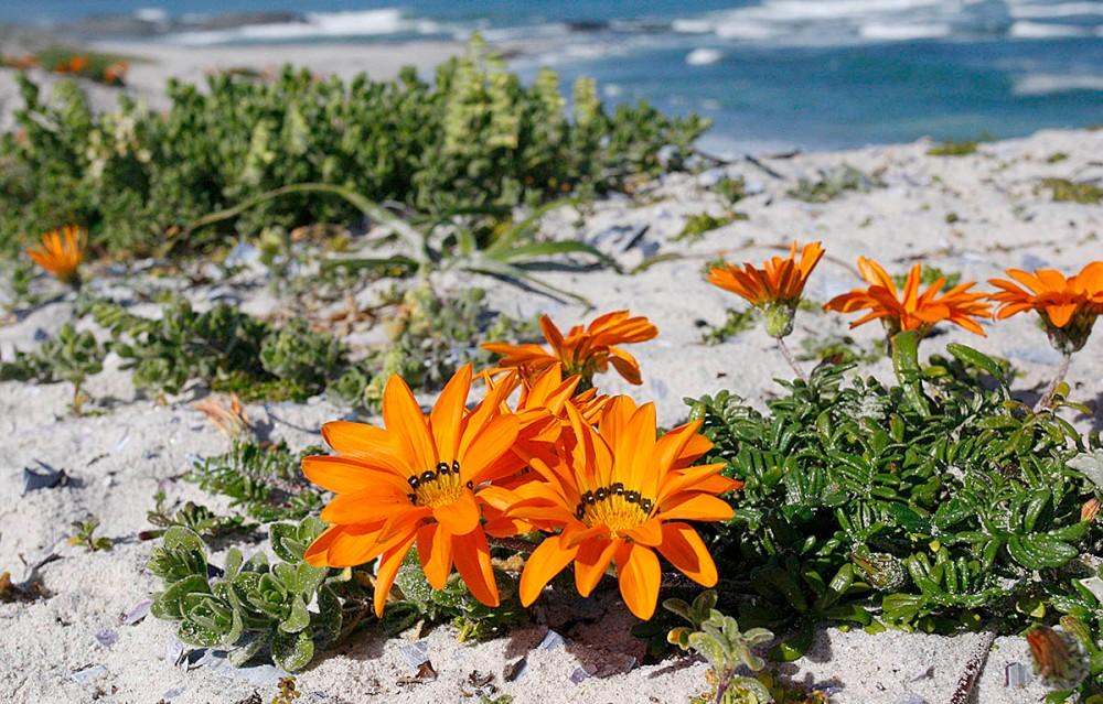 dune_flowers