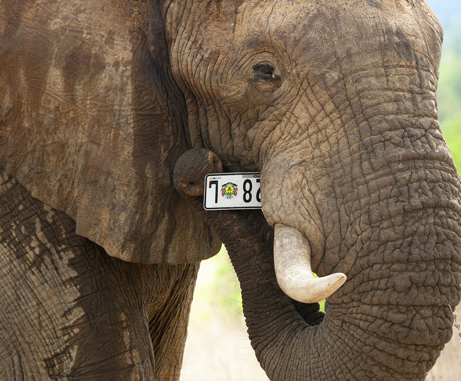 elephant_number_Mopani_Kruger