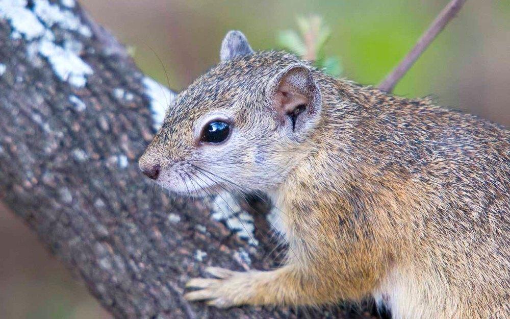 Tree_Squirrel_Mopani_Kruger